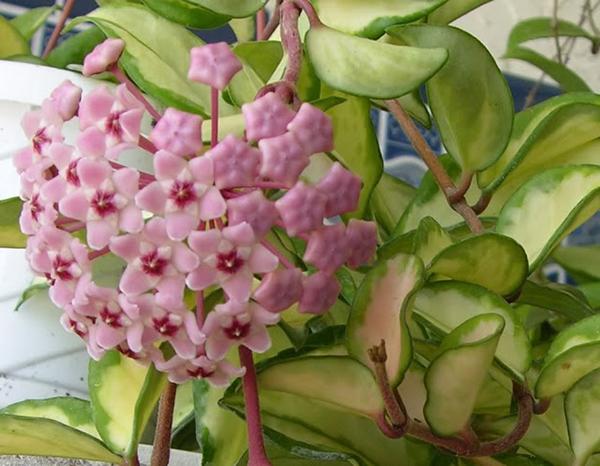 Hoa lan cẩm cù hoa đẹp cho ban công nhà bạn.