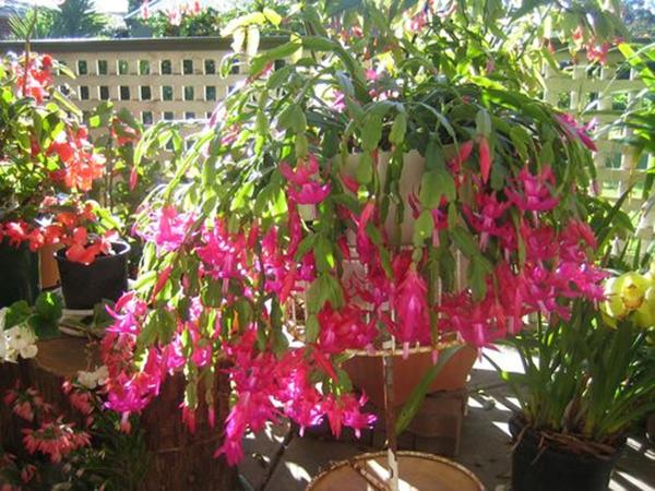 Hoa lan càng cua – Hoa đẹp độc đáo