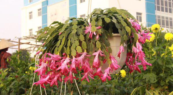 Hoa lan càng cua hoa cho ban công nhà bạn