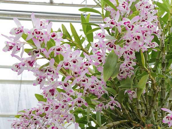 Hoa lan Dendro Hoa đẹp cho ban công