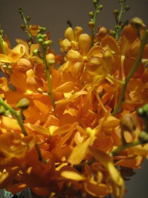 Hoa lan mokara vàng