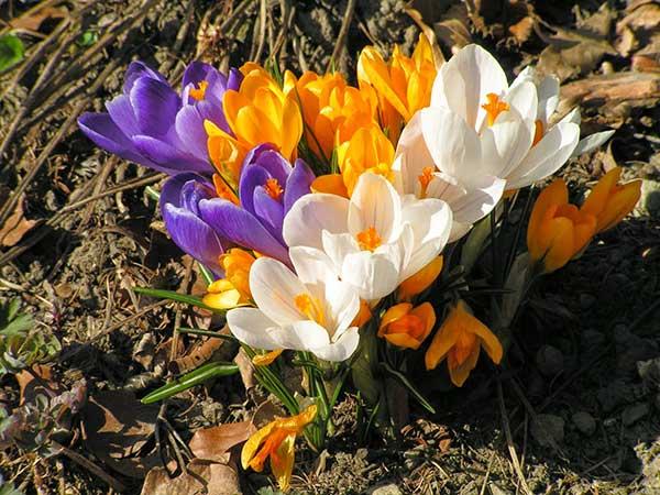 Hoa nghệ tây loài hoa đắt nhất thế giới – Hoa nghệ tây hoa đẹp độc đáo