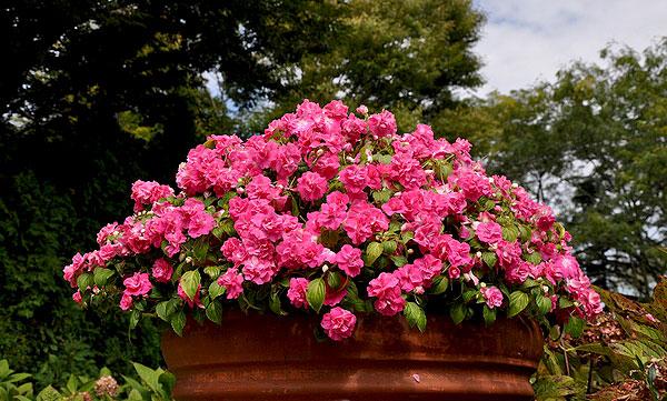 Cây hoa ngọc thảo – Hoa đẹp đễ trồng cho mọi không gian