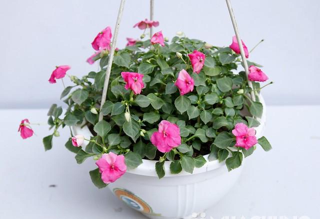 Hoa ngọc thảo hoa chậu treo đẹp