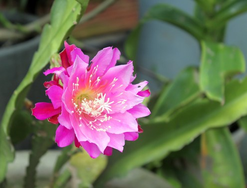 hoa-nhat-quynh-6