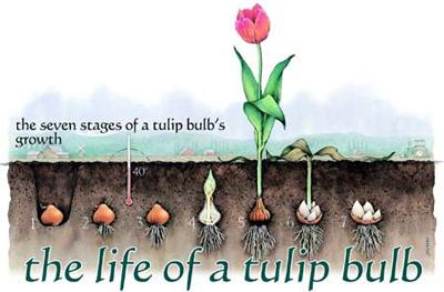 hoa-tulip-8