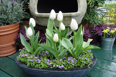 hoa-tulip-9