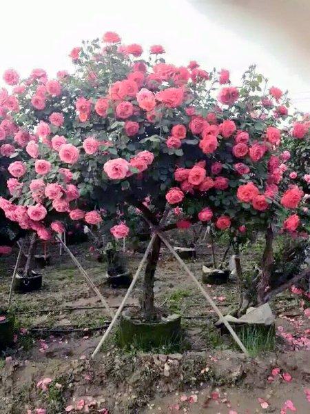 hong-rose-1