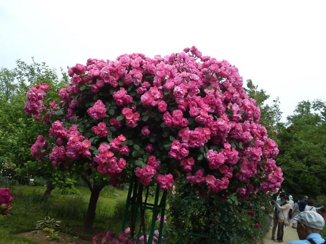 hong-rose-12