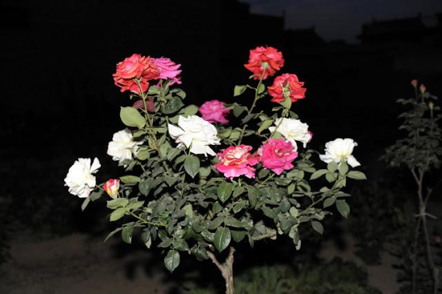 hong-rose-2