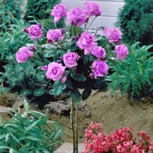 hong-rose-3