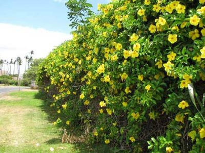 Flowering habit on fence at Recycling Center Kahului, Maui - Credit: Forest & Kim Starr - Plants of Hawaii - Image licensed under a Creative Commons Attribution 3.0 License, permitting sharing and adaptation with attribution.