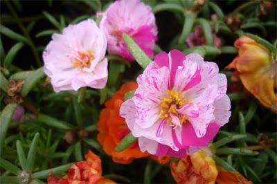 Hoa mười giờ – Hoa đẹp nhiều màu sắc độc đáo, dễ trồng