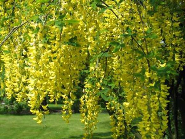 Cây muồng hoàng yến – Cây osaka vàng