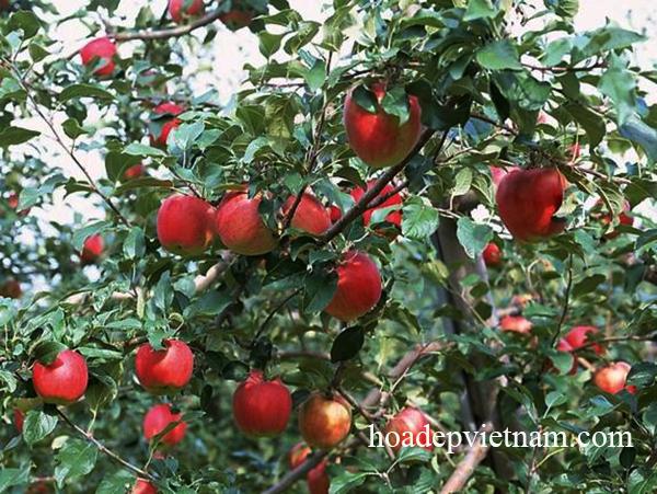 Cây ăn quả táo tây – Quả có nhiều giá trị