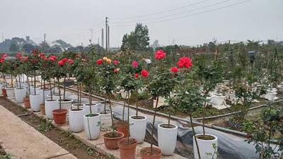 tree-rose-1