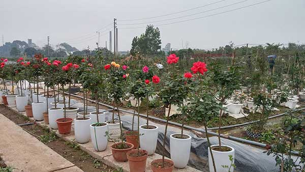 tree-rose-1a