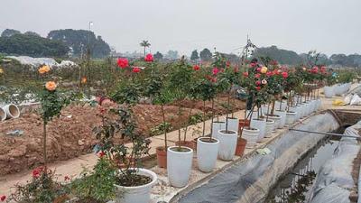 tree-rose-2