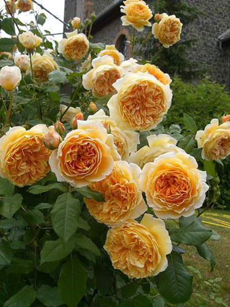 crown-princess-rose-1a