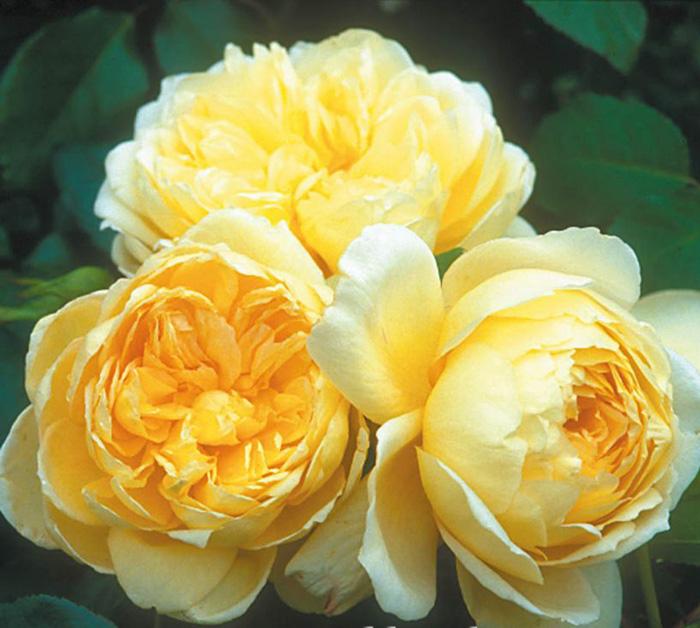 st-alban-rose-1a