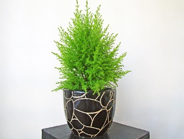 Cây tùng thơm cây trồng nội thất đẹp