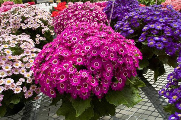Hoa cúc lá nho hoa đẹp trồng cho mọi cảnh quan