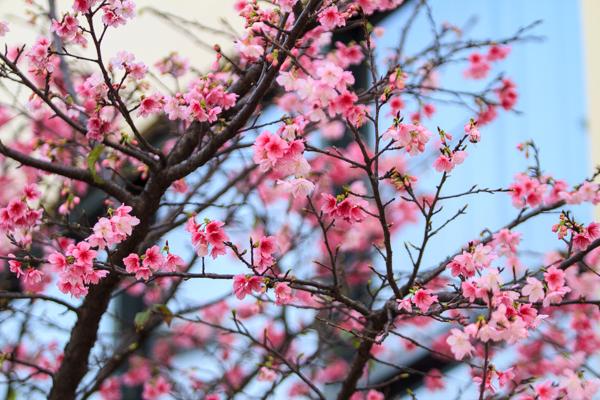 Hoa anh đào vẻ đẹp Nhật Bản ở Việt Nam