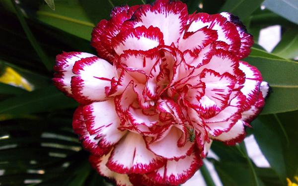 Có thể trồng hoa cẩm chướng bằng cành được không?