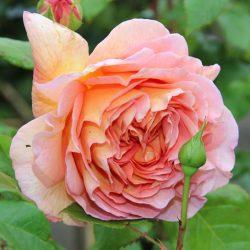 Hoa hồng leo Abraham Darby rose rực rỡ