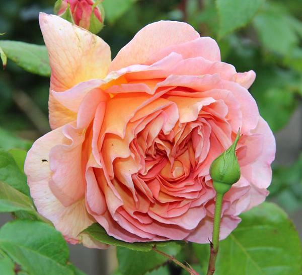 hoa-hong-leo-abraham-darby-rose-1a  Hoa hồng leo Abraham Darby rose hoa hong leo Abraham Darby rose 1a