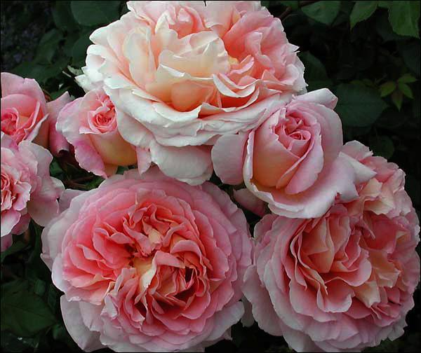 hoa-hong-leo-abraham-darby-rose-2a  Hoa hồng leo Abraham Darby rose hoa hong leo Abraham Darby rose 2a