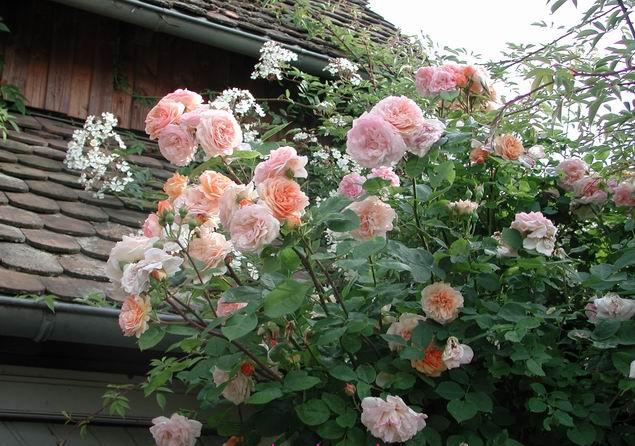 hoa-hong-leo-abraham-darby-rose-31a  Hoa hồng leo Abraham Darby rose hoa hong leo Abraham Darby rose 31a