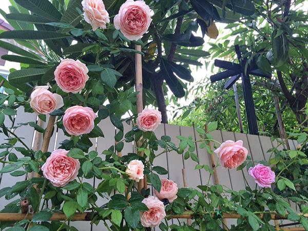 hoa-hong-leo-abraham-darby-rose-4a  Hoa hồng leo Abraham Darby rose hoa hong leo Abraham Darby rose 4a