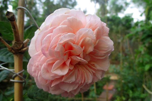 hoa-hong-leo-abraham-darby-rose-5a