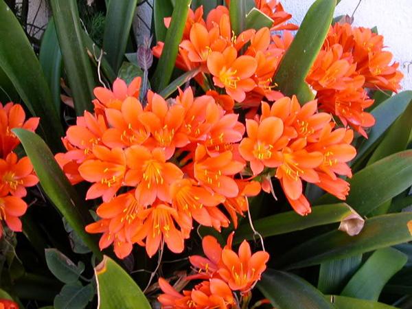 Hoa lan quân tử hoa nội thất mang lại may mắn