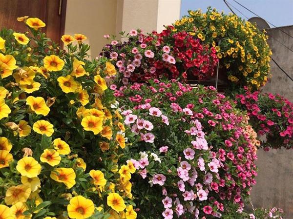 Hoa triệu chuông hoa treo đẹp cho mọi không gian
