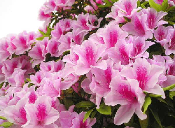 Hoa đỗ quyên ta vẻ đẹp rực rỡ thu hút mọi ánh nhìn