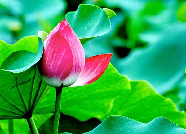 Hoa sen hoa đẹp truyền thống của người Việt