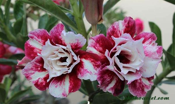 Hoa sứ Thái – Loài hoa đẹp của xa mạc, bông đẹp độc đáo