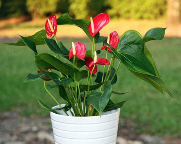 Cây tiểu hồng môn cây nội thất nhiều ý nghĩa
