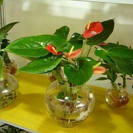 Tiểu hồng môn trồng nước