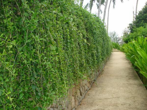 Cúc tần ấn độ cây dây leo khỏe, leo nhanh dễ trồng