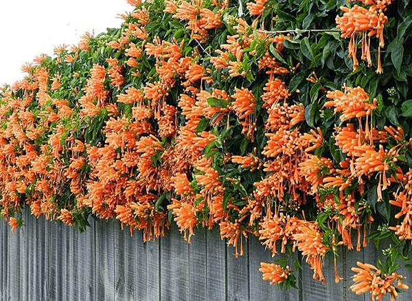 Hoa leo chùm ớt leo khỏe hoa đẹp