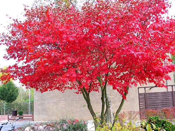 Cây phong lá đỏ làm cây bóng mát