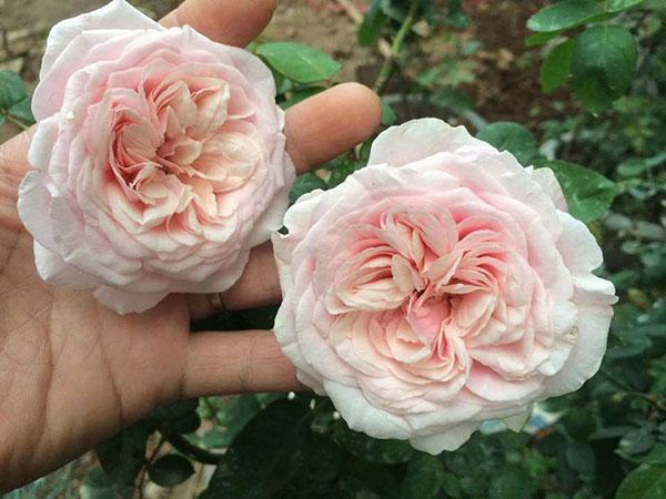 Hoa hồng cổ vân khôi hoa đẹp