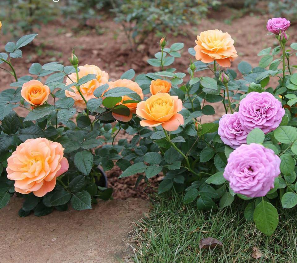 Hoa hồng tezza hoa hồng ngoại lùn siêu hoa, hoa liên tục
