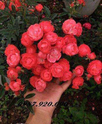 Hoa hồng trứng siêu hoa dễ chăm sóc