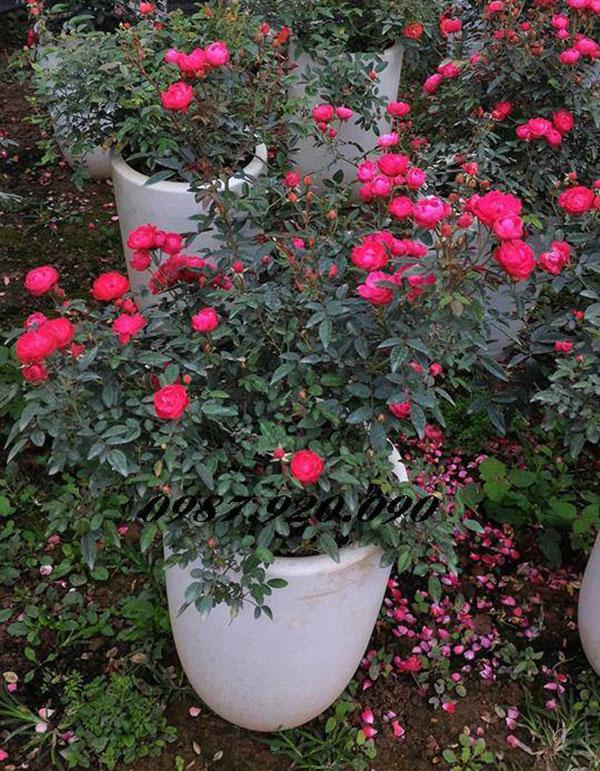 Hoa hồng trứng 2.2