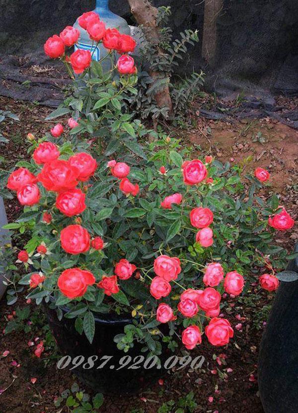 Hoa hồng trứng tại vườn