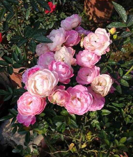Hoa hồng trứng 2.3